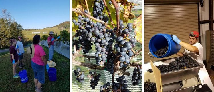 The Exciting Grape Picking at Banner Elk Winery This Fall
