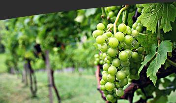 winery vineyards